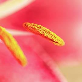 Nadezhda Tikhaia - Macro of Pink Llily Flower