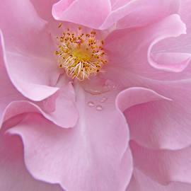 Jennie Marie Schell - Macro Pink Rose Flower