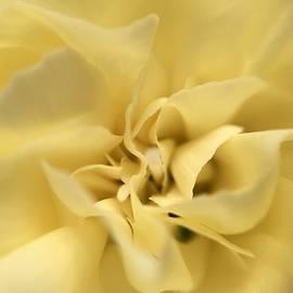 Marian Palucci-Lonzetta - Macro Yellow Rose