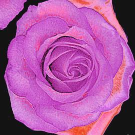 Merton Allen - Magenta and Pink Roses