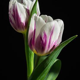 Fiona Craig - Magenta and White Tulips