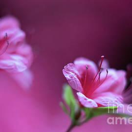 Magenta Flowers Azaleas - Mike Reid