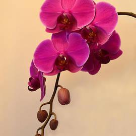 Catherine Sherman - Magenta Phalaenopsis Orchid