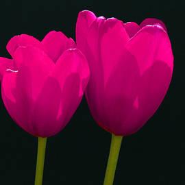 Allen Beatty - Magenta Tulips on Black