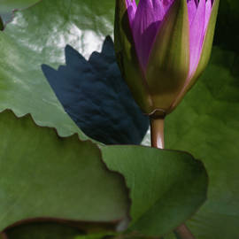 Suzanne Gaff - Magnificent Water Lily III