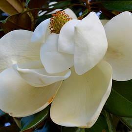 Linda Covino - Magnolia bloom
