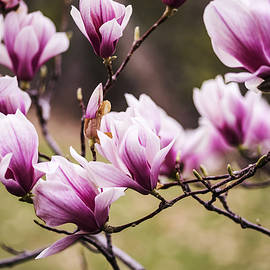 Vishwanath Bhat - Magnolia blooming in an early spring
