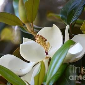 Carol McGunagle - Magnolia Blossom