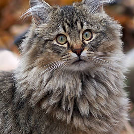 Rona Black - Maine Coon Cat