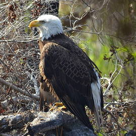 Carla Parris - Majestic Bald Eagle