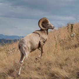 Fran Riley - Majestic Bighorn