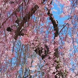 Charlotte Gray - Majestic Cherry Tree