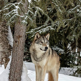Wes and Dotty Weber - Majestic Wolf D1344