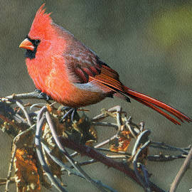 Male Cardinal - Ken Everett