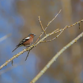 Leif Sohlman - Male Common chaffinch