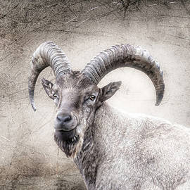 Carol Lux Photography - Male Goat in Alberta