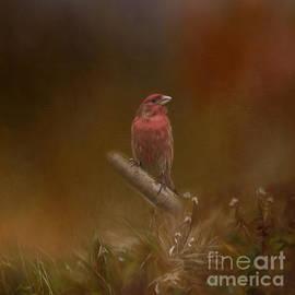 Kathleen Rinker - Male House Finch