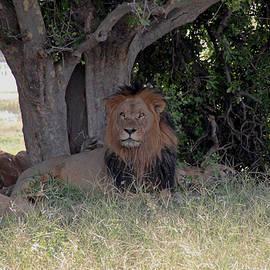 Tony Murtagh - Male Lion