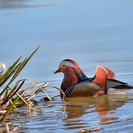 Leif Sohlman - Male mandarin duck April 2014