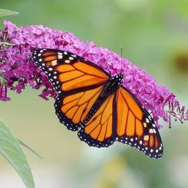 MTBobbins Photography - Male Monarch Butterfly