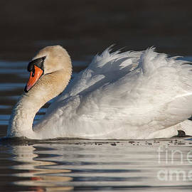 Jerry Fornarotto - Male Mute Swan Displaying