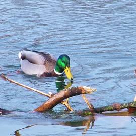 Rory Cubel - Mallard Drake At River Branch   Indiana  Winter