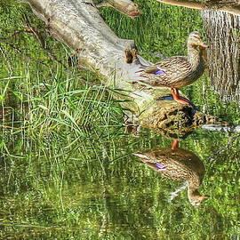 Jim Sauchyn - Mallard Duck on Log