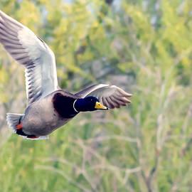 Tam Ryan - Mallard Duck