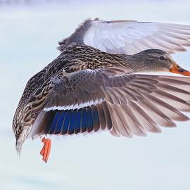 Lynn Hopwood - Mallard flying in winter