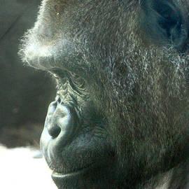 Gary Gingrich Galleries - Mama Lowland Gorilla-1422