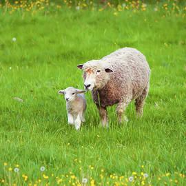 Amy Jackson - Mama Sheep and Baby Lamb