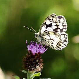 Rumyana Whitcher - Marbled White Butterfly