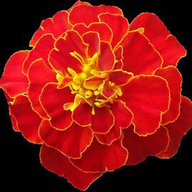 Johanna Hurmerinta - Marigold Red French Brocade