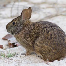 Paul Rebmann - Marsh Rabbit on Dune
