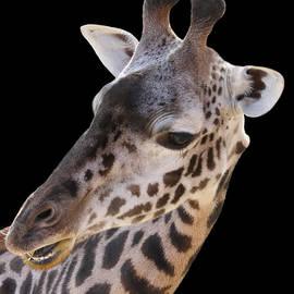 Judy Whitton - Masai Giraffe
