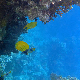 Johanna Hurmerinta - Masked Butterflyfish and Bannerfish in the Red Sea