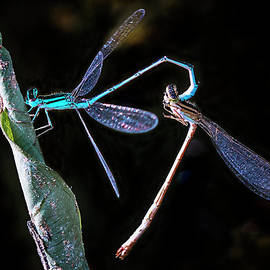 Ronel Broderick - Mating Damselflies on a leave