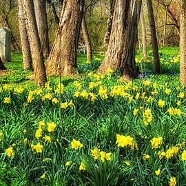 Carolyn Derstine - Meadow of Daffodils