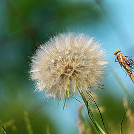 Les Palenik - Meadow salsify plant in seed