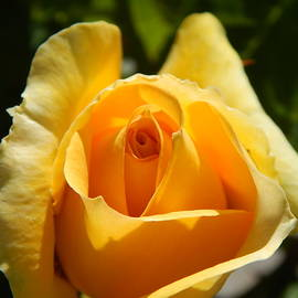 Susan Ince - Meaning Of A Yellow Rose