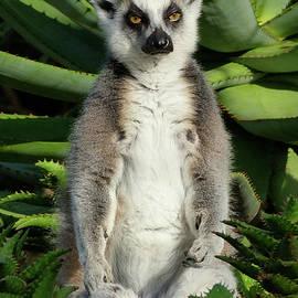 Margaret Saheed - Meditating Ring-tailed Lemur