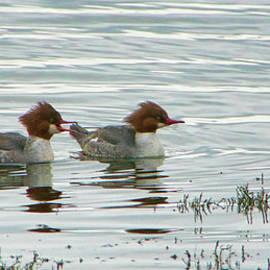 Marilyn Wilson - Common Merganser Ducks