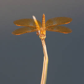 Ruth Jolly - Mexican AmberWing on an overcast day