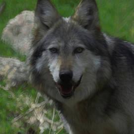 Ernie Echols - Mexican Gray Wolf DP