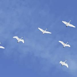 Delmas Lehman - Migrating Tundra Swans Fly in Formation