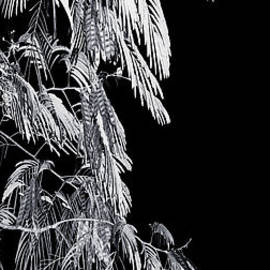 David Walker - Mimosa Moon