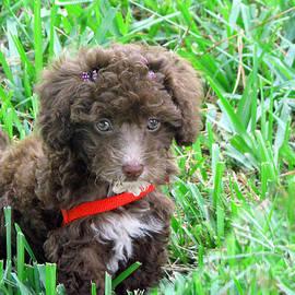 Sabrina Wheeler - Mimzy The Toy Poodle