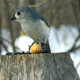 Nancy Spirakus - Mine All Mine Tufted Titmouse