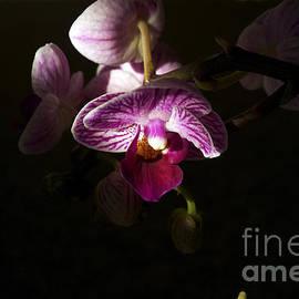 Elaine Mikkelstrup - Miniature Orchid