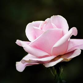 Don Johnson - Miniature Pink Rose